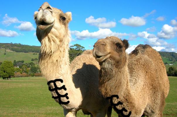 Camel Abs