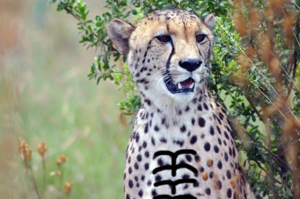 Cheetah Abs