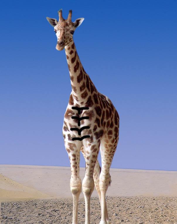 Giraffe Abs