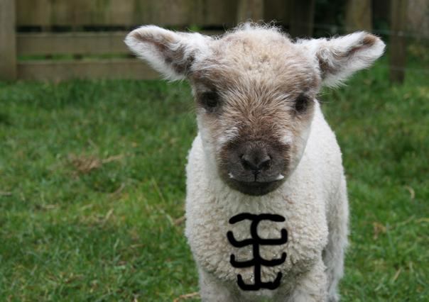 Lamb Abs