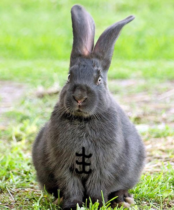 Rabbit Abs