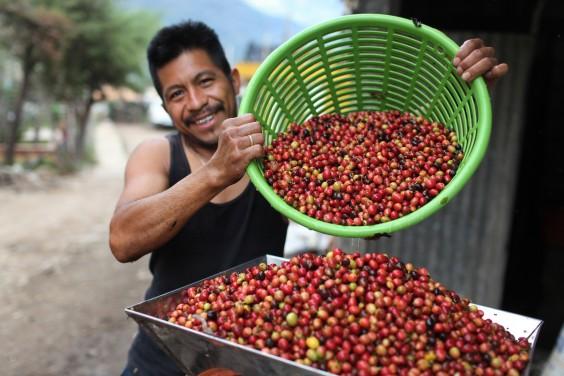 Man harvesting coffee beans
