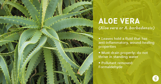 9 Easy-to-Care For Houseplants That Clean the Air: Aloe Vera