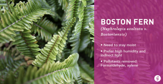9 Easy-to-Care For Houseplants That Clean the Air: Boston Fern
