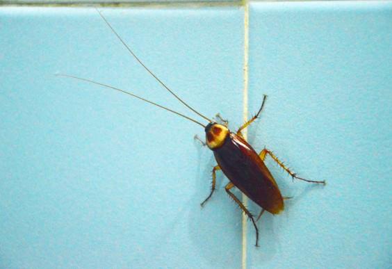 Cockroach on Blue Tile