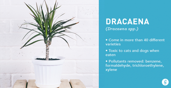 9 Easy-to-Care For Houseplants That Clean the Air: Dracaena