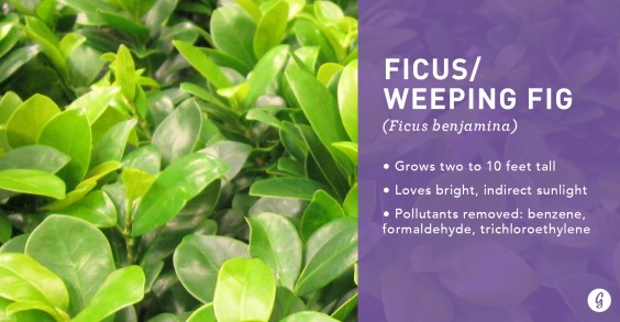 9 Easy-to-Care For Houseplants That Clean the Air: Ficus/Weeping Fig