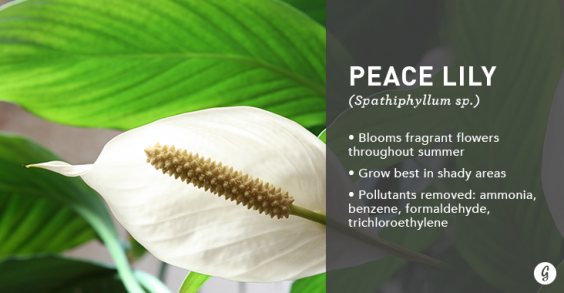 9 Easy-to-Care For Houseplants That Clean the Air: Peace Lily