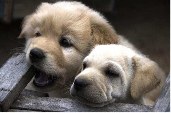 Puppies_604