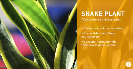 New Snake Plant