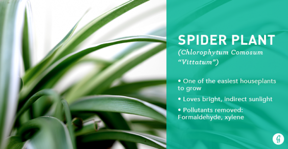9 Houseplants That Are Impossible to Kill: Spider Plant