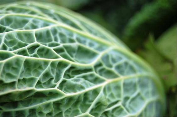 CSA Lettuce
