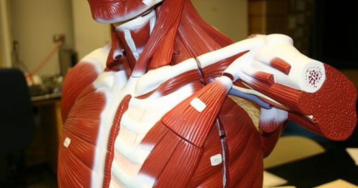 Serratus Anterior All You Need To Know Greatist