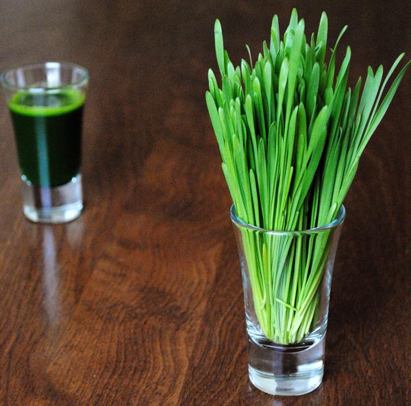 Wheatgrass_sq